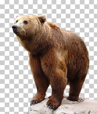 Brown Bear Grizzly Bear PNG