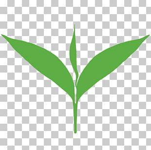 Green Tea Matcha Tea Production In Sri Lanka White Tea PNG