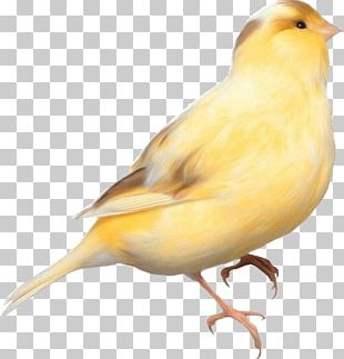 Domestic Canary Bird Parrot Finches PNG