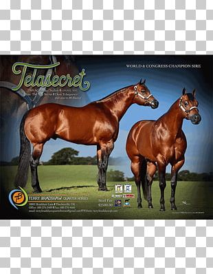 Stallion American Quarter Horse Mustang Mare Colt PNG