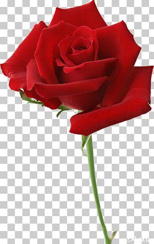 Beach Rose Flower Garden Roses Red Desktop PNG