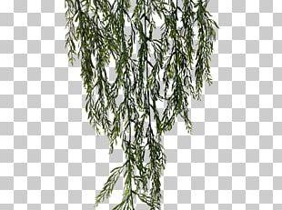 Leaf Stephanotis Floribunda Rosemary JMC Floral Plant Stem PNG