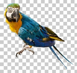 Companion Parrot Bird Cockatiel Budgerigar PNG