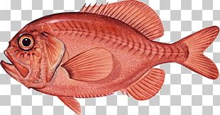 Northern Red Snapper Red Seabream Coral Reef Fish Marine Biology PNG