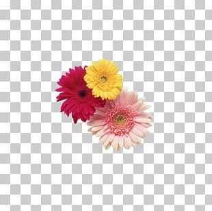 Transvaal Daisy Cut Flowers Stock Photography PNG
