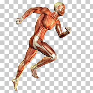 Skeletal Muscle Muscular System Human Body Running PNG
