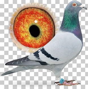 Racing Homer Columbidae Homing Pigeon Bird Pigeon Racing PNG
