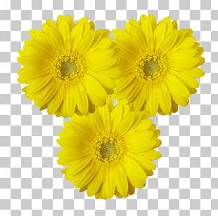 Transvaal Daisy Cut Flowers Chrysanthemum Marigolds Sunflower M PNG