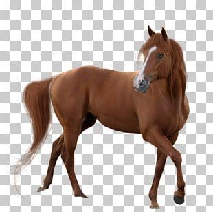 American Quarter Horse Mustang PNG