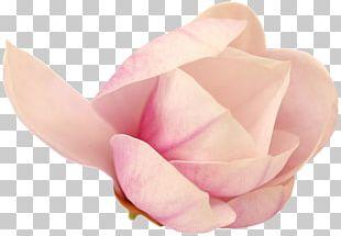 Garden Roses Cut Flowers Pink M Petal PNG