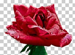 Garden Roses Cabbage Rose Floribunda Floristry Cut Flowers PNG