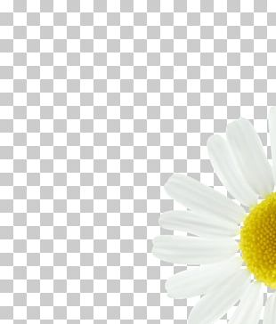 Daisy Family Common Daisy Oxeye Daisy Transvaal Daisy Petal PNG