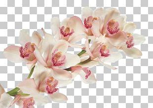 Cattleya Trianae Dancing-lady Orchid Flower Moth Orchids Desktop PNG
