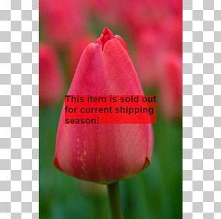 Tulip Petal Plant Stem Bud Close-up PNG
