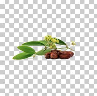 Jojoba Oil Seed Oil PNG
