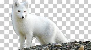 Arctic Fox Desktop Tundra PNG