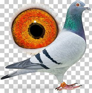 Beak Homing Pigeon Racing Homer Columbidae Fancy Pigeon PNG