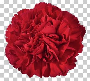 Carnation Cut Flowers PNG