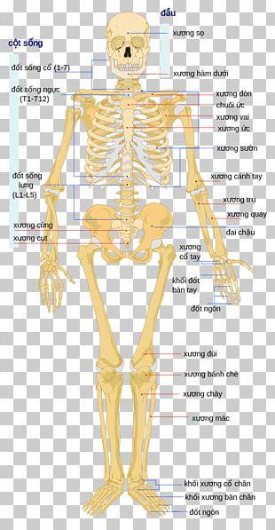 Human Skeleton Human Body Bone The Skeletal System PNG