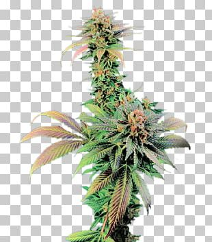Feminized Cannabis Cannabis Cup White Widow Skunk Seed PNG