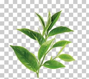 Green Tea White Tea Theanine Oil PNG