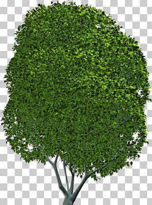 Tree Shrub Evergreen Leaf Herb PNG