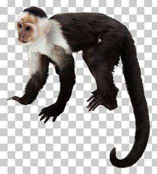 Orangutan Capuchin Monkey Macaque Gorilla Chimpanzee PNG