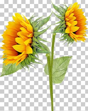 Common Sunflower Sunflowers PNG