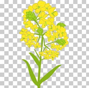 油菜 Book Illustration Brassica Rapa Illustrator PNG