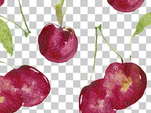 Cherry Watercolor Painting Illustration PNG