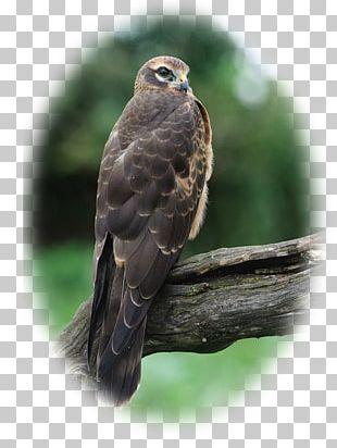 Hawk Circinae Montagu's Harrier Hen Harrier Falconiformes PNG