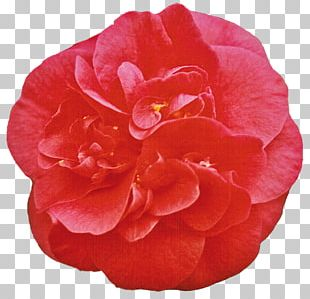 Japanese Camellia Double-flowered Pink White PNG