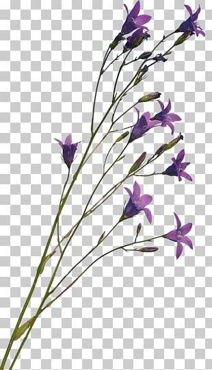 Bellflower Family Lavender Bellflowers Plant Stem Cut Flowers PNG