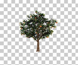 Citrus Xc3u2014 Sinensis Fruit Tree Orange PNG
