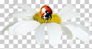 Ladybird Insect Painting Pollinator DenizBank PNG