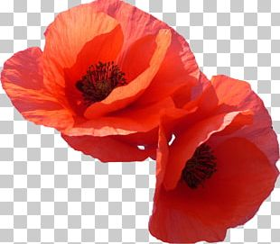 Flower Poppy Photography PNG