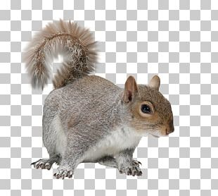 Rodent Raccoon Eastern Gray Squirrel Sciurinae Red Squirrel PNG