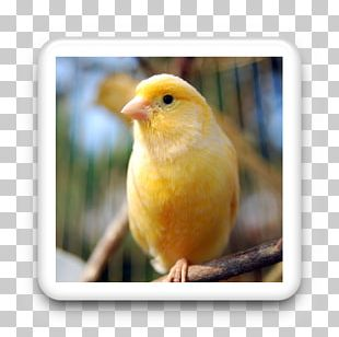 Domestic Canary Bird Vocalization Yellow Canary Pet PNG
