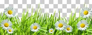 Roman Chamomile Grasses Hand Computer PNG