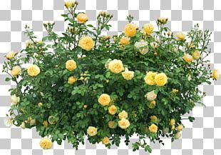 Shrub Flower Rose PNG