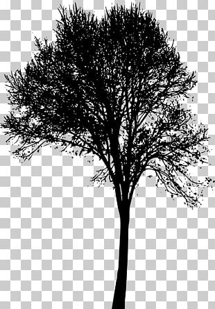 Woody Plant Tree Branch Twig PNG