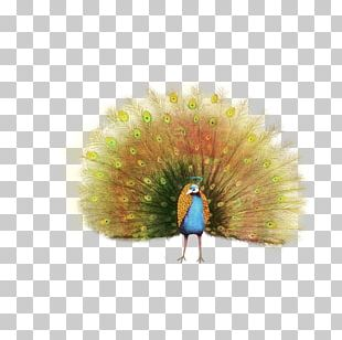 Peafowl Painting Feather PNG
