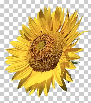 Common Sunflower PNG