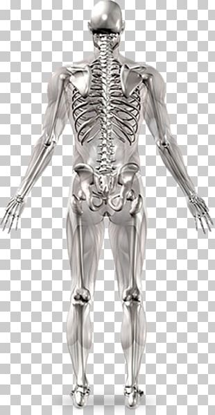 Human Skeleton Joint Anatomy Human Body PNG
