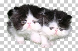 Kitten Persian Cat Norwegian Forest Cat Ragamuffin Cat Exotic Shorthair PNG