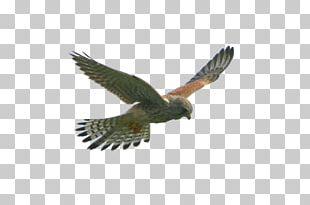 Eagle Flight Hawk Bird PNG
