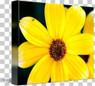Daisy Family Common Sunflower Petal Flowering Plant PNG