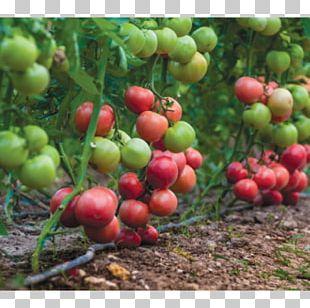 Bush Tomato Plant Burmese Grape Seed PNG