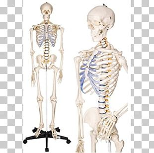 Human Skeleton Anatomy Human Body The Skeletal System PNG