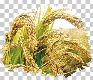 Rice Seed Cereal Germination Wheat PNG